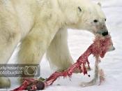 Urso Polar Comendo 3