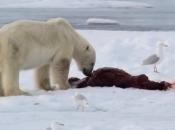 Urso Polar Comendo 4