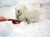 Urso Polar Comendo 5