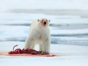 Urso Polar Comendo 6