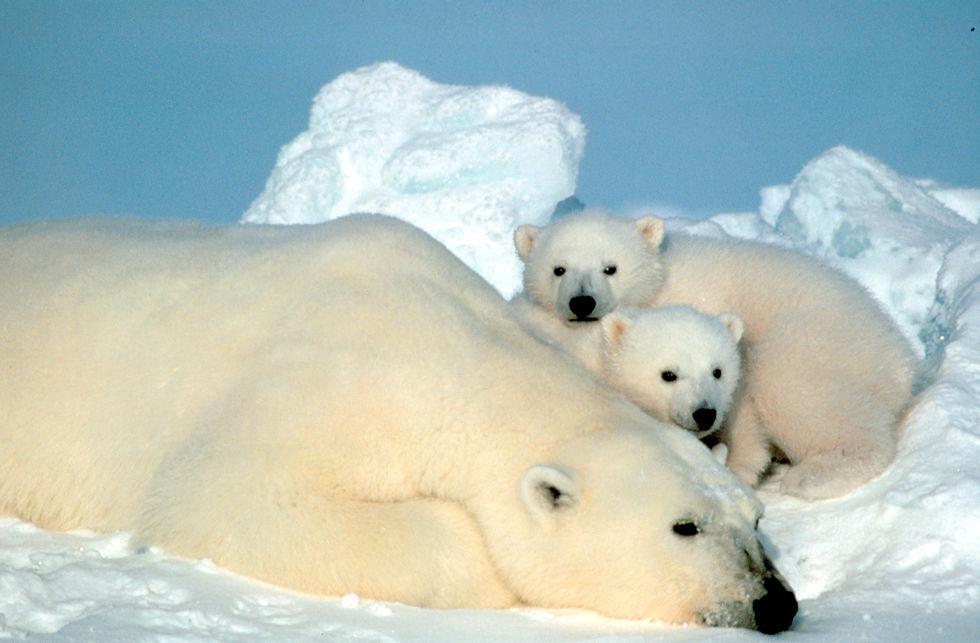 Urso Polar - Filhotes 4
