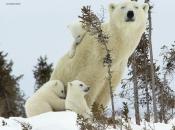 Urso Polar - Filhotes 1