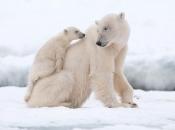 Urso Polar - Filhotes 2