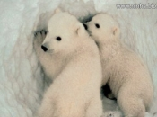 Urso Polar - Filhotes 3