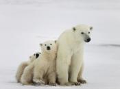 Urso Polar - Filhotes 5
