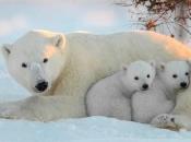Urso Polar - Filhotes 6