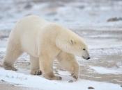 Urso Polar 1