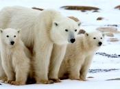 Urso-Polar 1