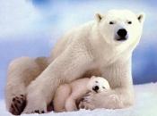 Urso Polar 2