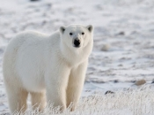 Urso-Polar 2
