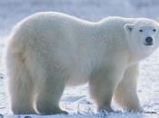 Urso-Polar 3