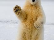 Urso Polar 4