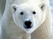 Urso-Polar 4