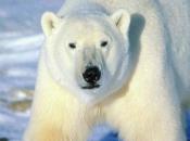 Urso-Polar 5