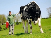 Vaca 4