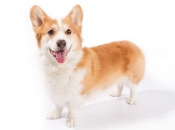 Welsh Corgi 1