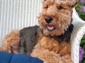 Welsh Terrier 3