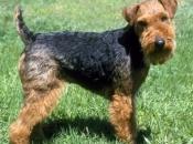 Welsh Terrier 4