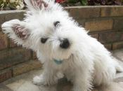 West Highland White Terrier 3