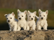 West Highland White Terrier 6