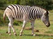 zebras-de-burchell-1