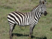 zebras-de-burchell-2