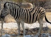 zebras-de-burchell-3