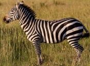 curiosidades-da-zebra-3