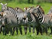 curiosidades-da-zebra-4