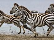 curiosidades-da-zebra-5