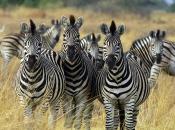 curiosidades-da-zebra-6