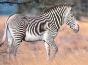 zebras-de-grevy-1