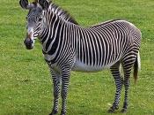 zebras-de-grevy-2