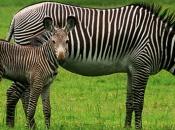 zebras-de-grevy-4