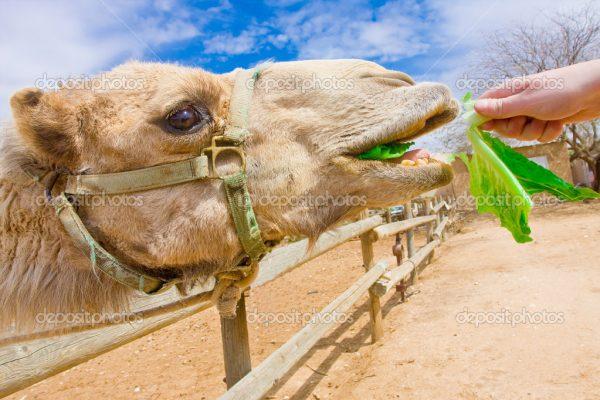 Alimentação do Camelo