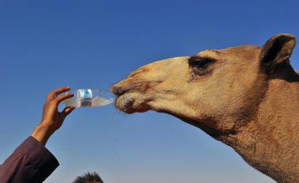 Camelo Tomando Água