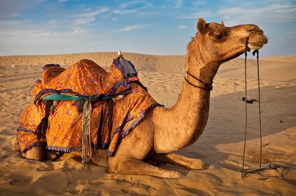 Características do Camelo