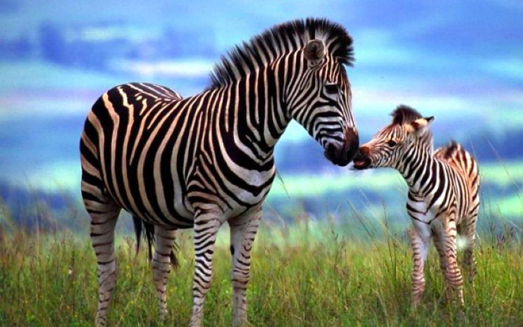 Curiosidades Sobre a Zebra