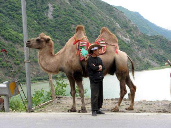 Domesticação do Camelo
