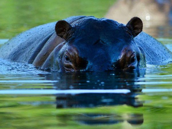 Hipopótamos Selvagens