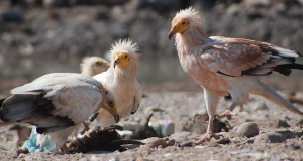 Abutre do Egito Extinção