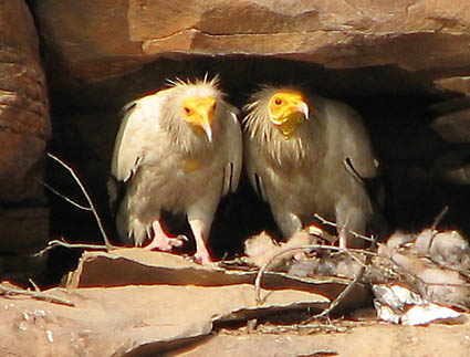 Abutres do Egito Onde Encontrar