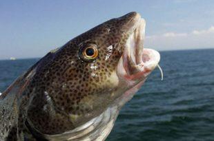 Bacalhau Peixe