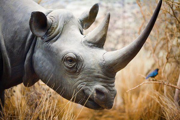 Cabeça do Rinoceronte