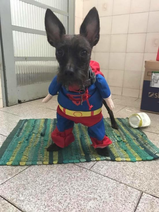 Cachorro Superman