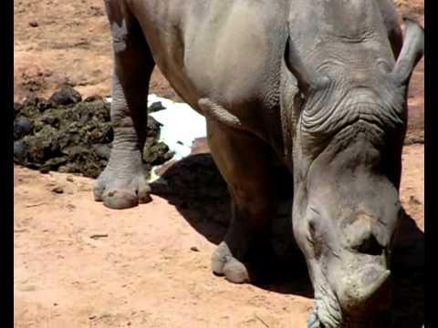 Cocô de Rinoceronte