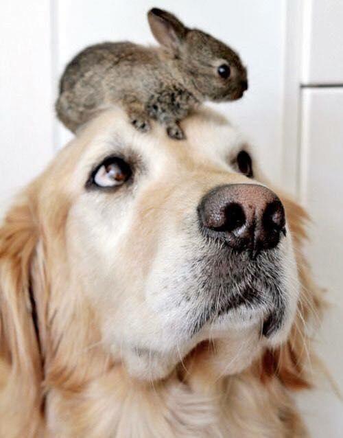 Coelho na Cabeça do Cachorro