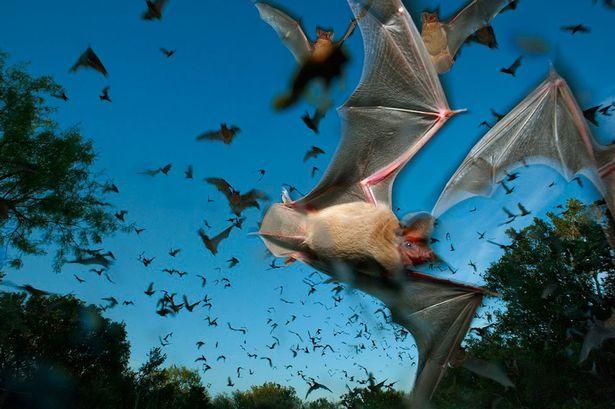 Doença Transmitida Pelo Morcego
