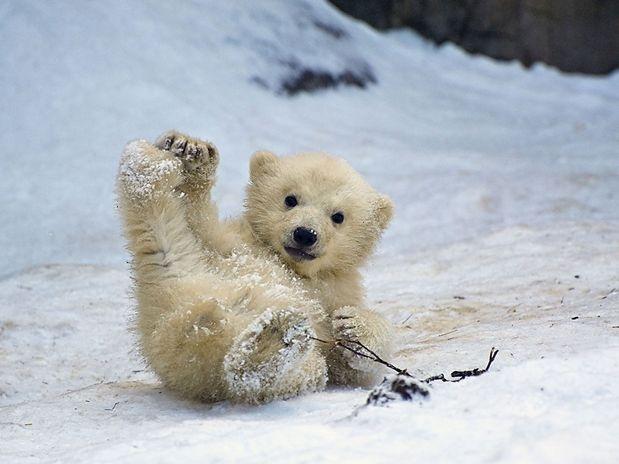 Reprodução do Urso