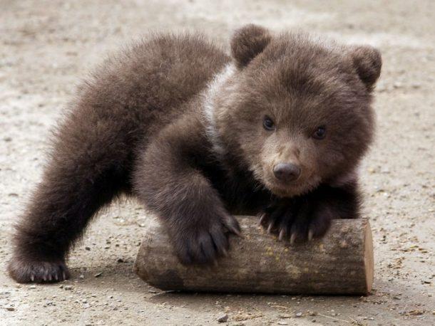 Filhotes de Urso